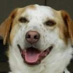 Adopt_Chester_Brittany_mix1