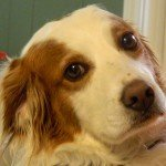 BRIT_Brittany_Rescue_Texas_Toffee_1