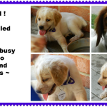 DAISY '14 - website puppy - Hazel  7-13-14
