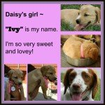 DAISY '14 - website puppy - Ivy  7-13-14
